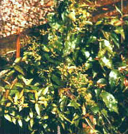 Suma plant